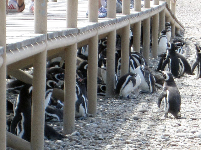 Puerto Penguins