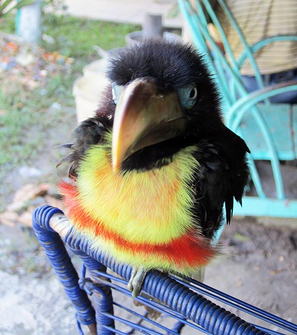 Iquitos_bird