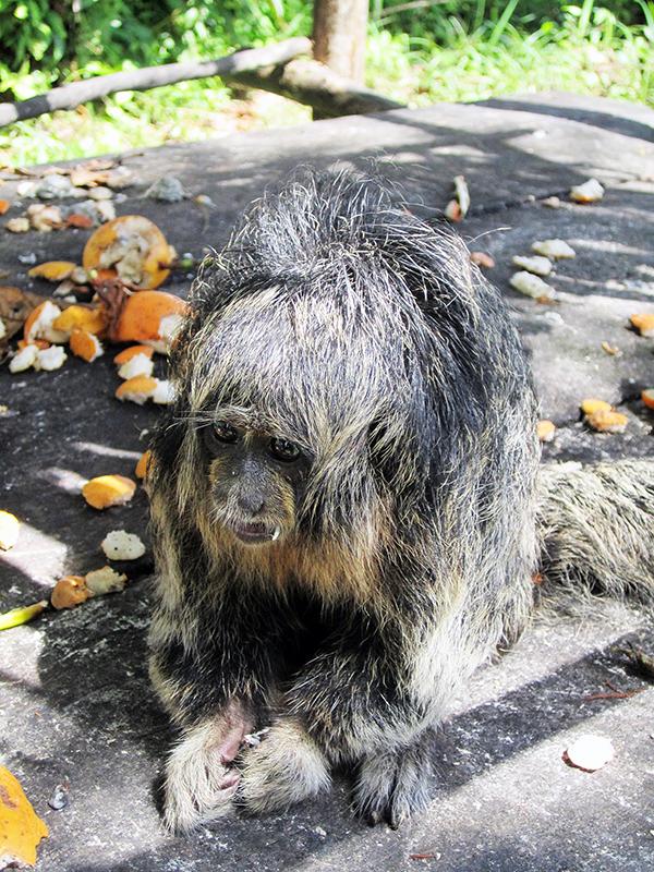 Iquitos_monkey