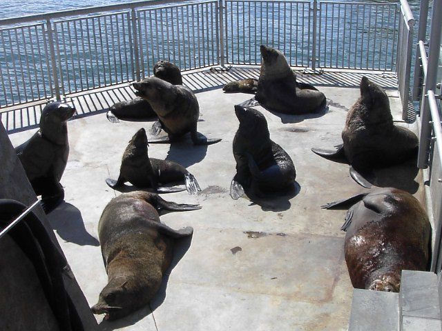 Seals in the harbour